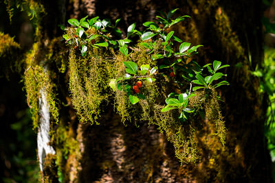 Thumbnail image of Red berries among hanging moss.