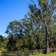 Gum tree in cattle yards.