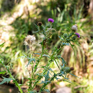 Thistle beside Condamine River.