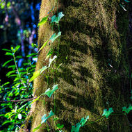 Moss covered tree and creeper reaching for the light.