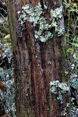 Thumbnail image ofLichen covered rabbit proof fence post.