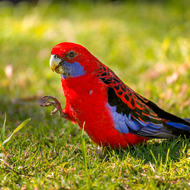 High five, or is it four?  Crimson Rosella.