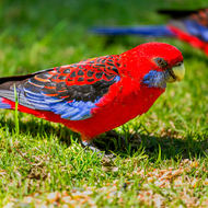 Feasting time for Crimson Rosellas.