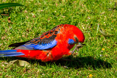 Thumbnail image of Cleaning time for a Crimson Rosella.
