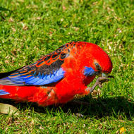 Cleaning time for a Crimson Rosella.