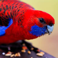 Crimson Rosella, eating breakfast.