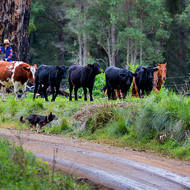 Droving cattle along the Condamine River road.