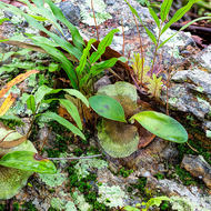 Small Elkhorn ferns sprout from crevices in a rock.