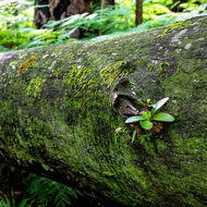 Elkhorn fern growing on a fallen tree.
