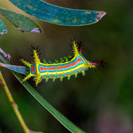 Wattle Cup moth caterpillar, calcarifera ordinata.