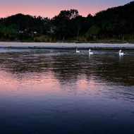 Pelicans at dusk on Cudgera Creek.
