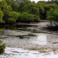 Mangrove swamp, the Tweed River at low tide.