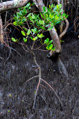 Thumbnail image ofMangrove junior seems to tippy toe over the swamp.