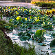 Early morning lotus plants in the Fogg Dam wetlands.