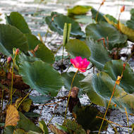 Lotus flower and buds in the Fogg Dam wetlands.