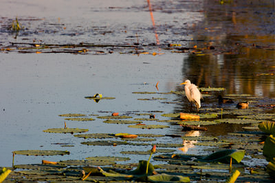 Thumbnail image of Egret on the lookout for breakfast.