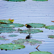 Comb crested jacana on the hunt across the lotus pads.