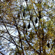 Fruit bats hanging around, waiting for dusk.
