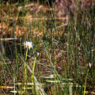 Flower among the grasses in the tabletop wetlands.