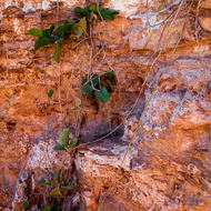 Creeper growing down over the beachside cliff.