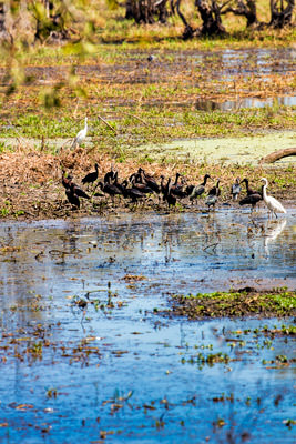 Thumbnail image of Wetland birds on Fogg Dam.