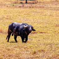 Water buffalo, I think it's a bull and it's seen me.
