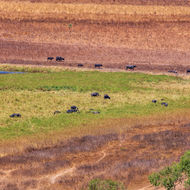 Herd of water buffalo in the diminishing winter wetlands.
