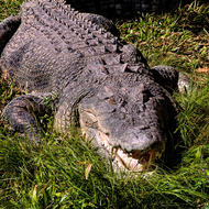 Brutus the immense saltwater crocodile, crocodylus porosis.