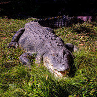 Brutus the saltwater crocodile, crocodylus porosis, mouth open cooling down.