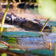 Saltwater crocodile, crocodylus porosis, slips quietly into the water.