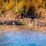 Saltwater crocodile, crocodylus porosis, sunning on the bank.