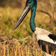 Jabiru, black necked stork, ephippiorhynchus asiaticus, with a fly crawling down its beak.