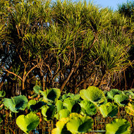 Lotus plants and pandanus pines on the edge of the billabong.
