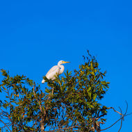 Egret atop a tree.