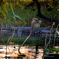 Crocodile lurks on the billabong bank behind the lotus.