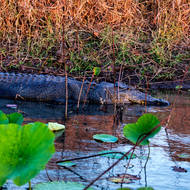 Last light of the setting sun light up the eye of this saltwater crocodile, crocodylus porosis.