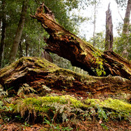 Moss covered fallen tree at Dangar Falls.