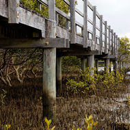 Boardwalk over mangroves.