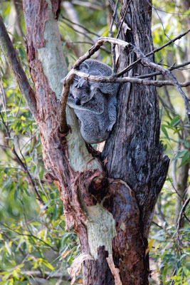 Thumbnail image of Koala mother and joey (baby), the joey draped...