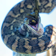 Mouth wide open as a carpet python, morelia spilota, gulps down a rainbow lorikeet, trichoglossus heamatodus.