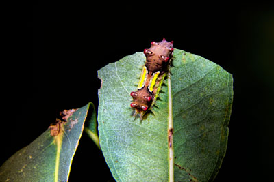 Thumbnail image ofMottled cup moth caterpillar at work consuming...