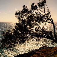 Windblown tree silhouetted by rising sun.