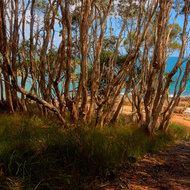 Tea Trees at Tea Tree Bay.