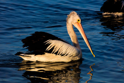 Thumbnail image of Pelican at dusk on Noosa River.