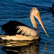 Pelican at dusk on Noosa River.