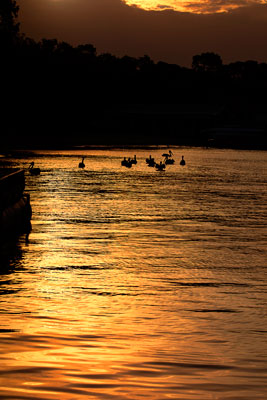 Thumbnail image of Pelicans silhouetted in sunset on Noosa River.