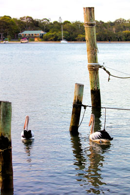 Thumbnail image of Morning pelicans on Noosa River, looking for breakfast.