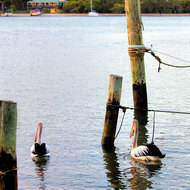 Morning pelicans on Noosa River, looking for breakfast.