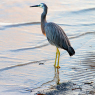 White faced heron beside Noosa River.