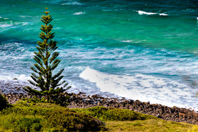 Thumbnail image of Norfolk Island pine, araucaria heterophylla, on...